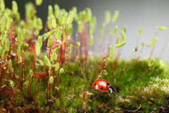 Ladybird on mossy forest floor Royalty Free Stock Photos