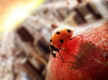Ladybird na brzoskwini Zdjęcie Royalty Free