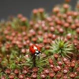 Ladybird na czerwonym okwitnięcie mech Zdjęcie Royalty Free