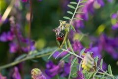 Ladybird na kwiacie obraz stock