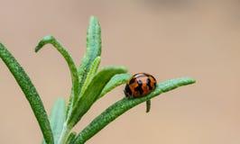 Ladybird na Rozmarynowym liściu Fotografia Stock