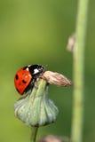 Ladybird na wysuszonym kwiacie obrazy royalty free