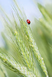 Ladybird na żyto ucho. obraz royalty free