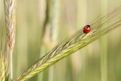 Ladybird na żyto ucho. Fotografia Royalty Free