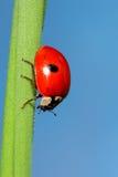 ladybird na zielonej trawie nad niebieskim niebem zdjęcia royalty free