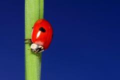 Ladybird na zielonej trawie nad niebieskim niebem. makro- obrazy stock