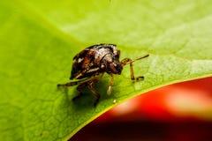 Ladybird na zielonym liściu w ogródzie Obraz Royalty Free