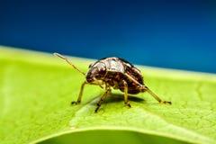 Ladybird na zielonym liściu w ogródzie Zdjęcie Royalty Free