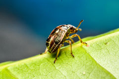 Ladybird na zielonym liściu w ogródzie Zdjęcie Stock