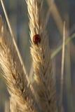 Ladybird. A natural shot of a ladybird on an ear of corn Stock Image