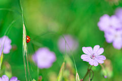 Ladybird in the nature of flowers in spring Stock Image