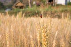 Ladybird nel campo dell'orzo Fotografia Stock