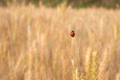 Ladybird nel campo dell'orzo Fotografia Stock Libera da Diritti