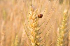 Ladybird nel campo dell'orzo Fotografie Stock Libere da Diritti