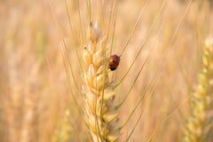 Ladybird nel campo dell'orzo Fotografie Stock