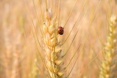 Ladybird nel campo dell'orzo Immagini Stock