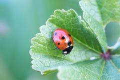 Ladybird nel suo ambiente con la macro fotografie stock libere da diritti