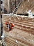 Ladybird nest Royalty Free Stock Photography