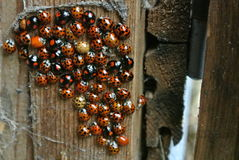 Ladybird nest Royalty Free Stock Photos