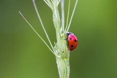 Ladybird  nibbling on a plant Stock Image
