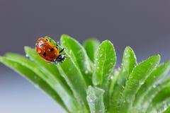Ladybird o coccinella nelle gocce di acqua Immagine Stock