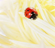 Ladybird o coccinella nelle gocce di acqua su un fiore giallo di autunno dell'aster Immagini Stock Libere da Diritti
