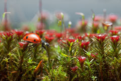 Ladybird obtiennent au-dessus de la mousse de fleur, étape une Image libre de droits