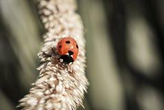 Ladybird odprowadzenie zdjęcia royalty free
