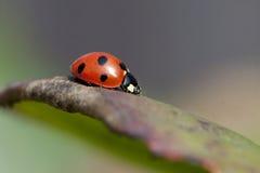 Free Ladybird On A Leaf Royalty Free Stock Photos - 39076708