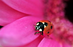 Ladybird On Gerbera Stock Photography