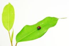 Ladybird On Green Leaf Royalty Free Stock Photos