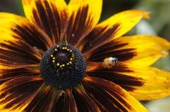 Ladybird on an orange daisy Stock Images