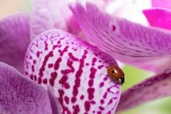 The ladybird that sleeps on the orchid royalty free stock image
