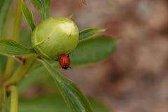 Ladybird on peony bud closeup Stock Images