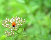 Ladybird. A ladybird perched on a flower Royalty Free Stock Image