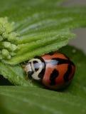 Ladybird pluskwy makro- zieleń Zdjęcia Stock