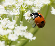 Ladybird in pollen. A closeup photo of a ladybird on a flower covered with pollen royalty free stock photography