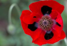 Ladybird Poppy Flower. Head with red and black petals and yellow staemen royalty free stock photo