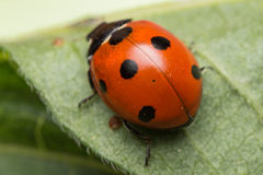 Ladybird. A portrait of a beautiful coccinella septempunctata Stock Images