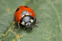 Ladybird. A portrait of a beautiful coccinella septempunctata Royalty Free Stock Photography