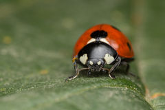 Ladybird. A portrait of a beautiful coccinella septempunctata Royalty Free Stock Image
