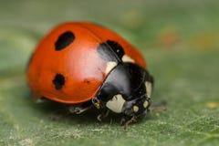 Ladybird. A portrait of a beautiful coccinella septempunctata Royalty Free Stock Photo