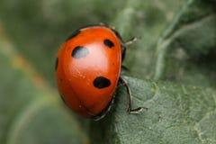 Ladybird. A portrait of a beautiful coccinella septempunctata Stock Photo