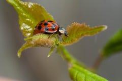 Ladybird posant sur une feuille de mûre Images stock