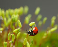 Ladybird przylega na mech sporophyte Obrazy Stock