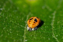 Ladybird pupa larva resting on the leaf of a kiwi tree royalty free stock photos
