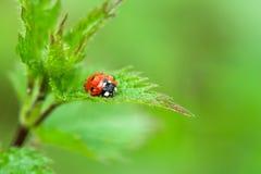 Ladybird in rain Royalty Free Stock Photo