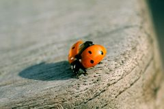 Ladybird ready for take off.  Royalty Free Stock Photo