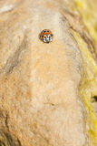 Ladybird or ladybug on a rock Royalty Free Stock Photo