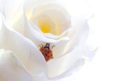 Ladybird on rose Stock Photos